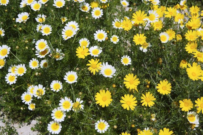雏菊花园空白黄色 库存图片