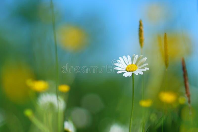 雏菊花在春天 免版税图库摄影