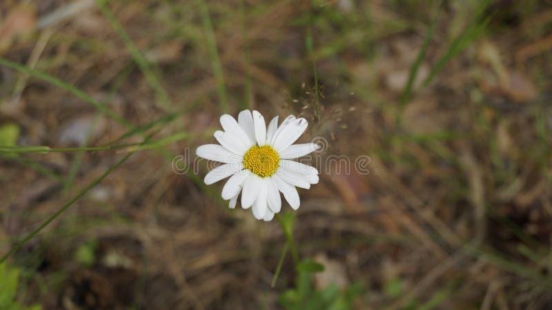 雏菊花在森林里 免版税库存照片