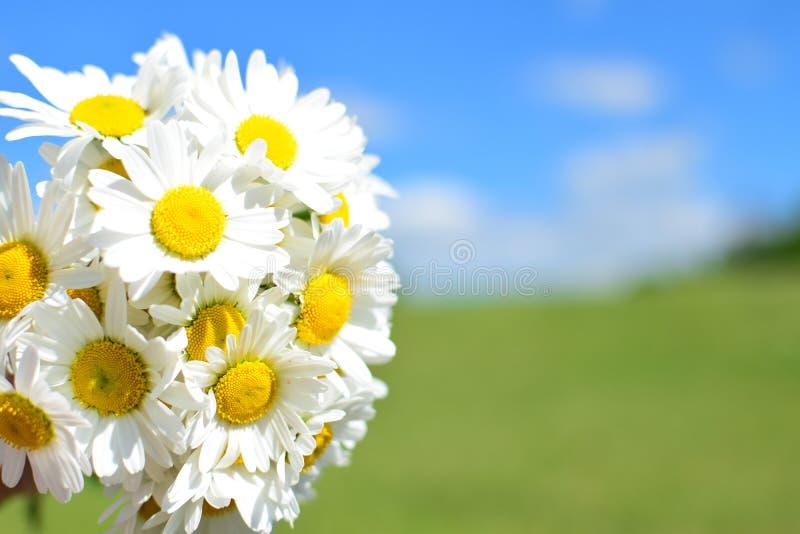 雏菊花束和夏天草甸在背景中 库存照片