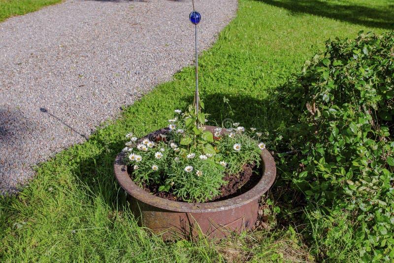 雏菊花美丽的景色在大棕色罐的在房子外面 美好的夏天自然背景 免版税图库摄影