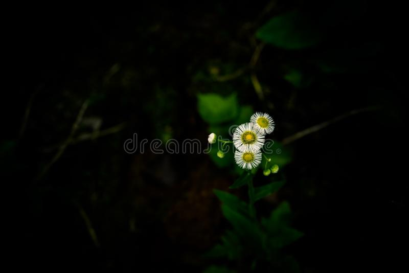 雏菊花语言是天真的,平安, 免版税图库摄影