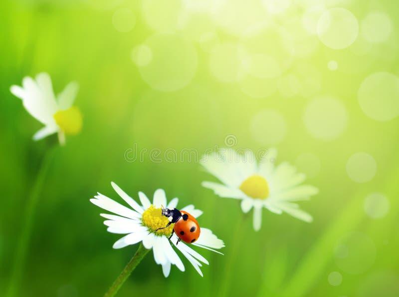 Download 雏菊花 库存图片. 图片 包括有 草坪, 照亮, 光合作用, 工厂, 蠢材, 叶子, 复制, 田园诗, 环境 - 17663017