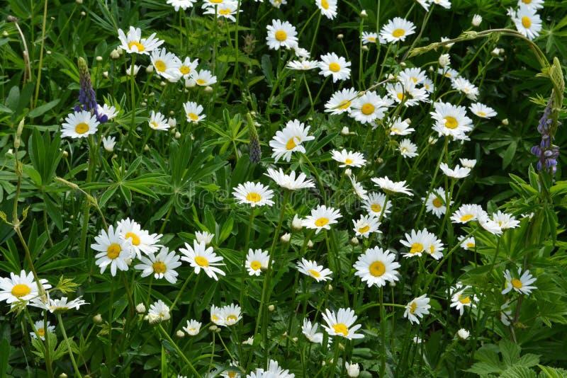 雏菊草甸在夏天 开花的春黄菊 库存图片