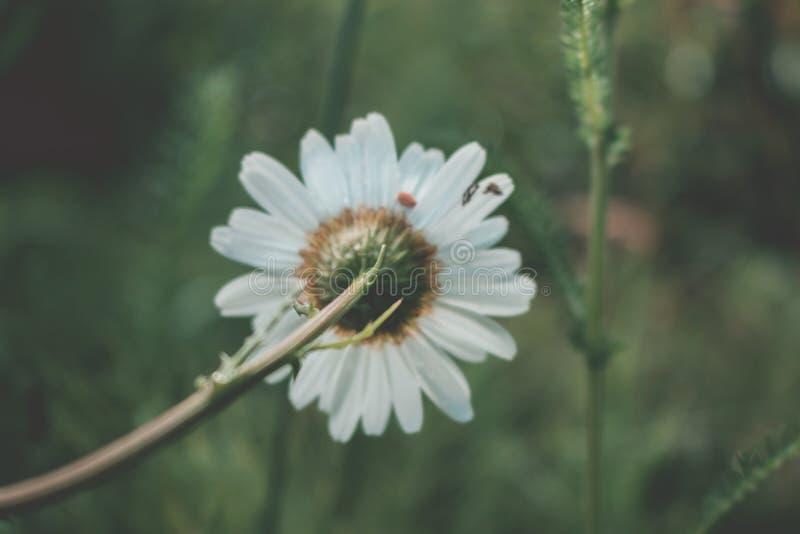 雏菊 在雏菊后开花反对绿色风景 库存照片