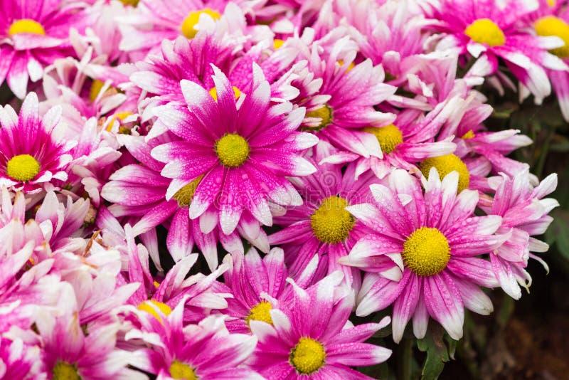 雏菊紫红色 库存照片