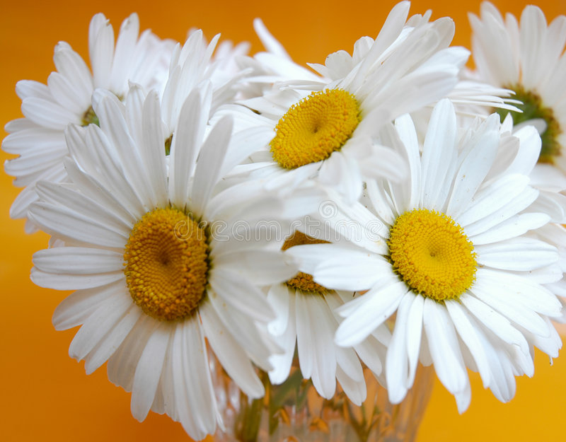 Download 雏菊 库存图片. 图片 包括有 雏菊, 开花, 花瓶, 本质, 开花的, 橙色, 夏天, 黄色, 空白, 绽放 - 180107