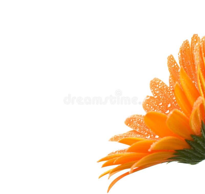 雏菊gerber桔子 库存图片