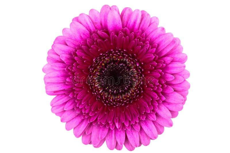 雏菊gerber理想的粉红色 免版税库存图片