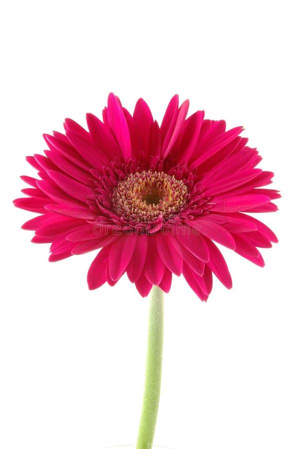 雏菊gerber粉红色 库存图片