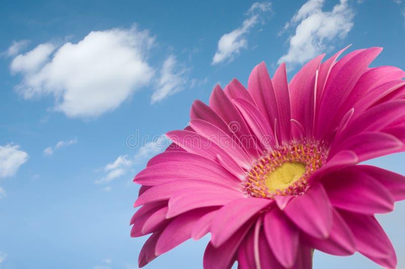 雏菊gerber紫罗兰 库存照片