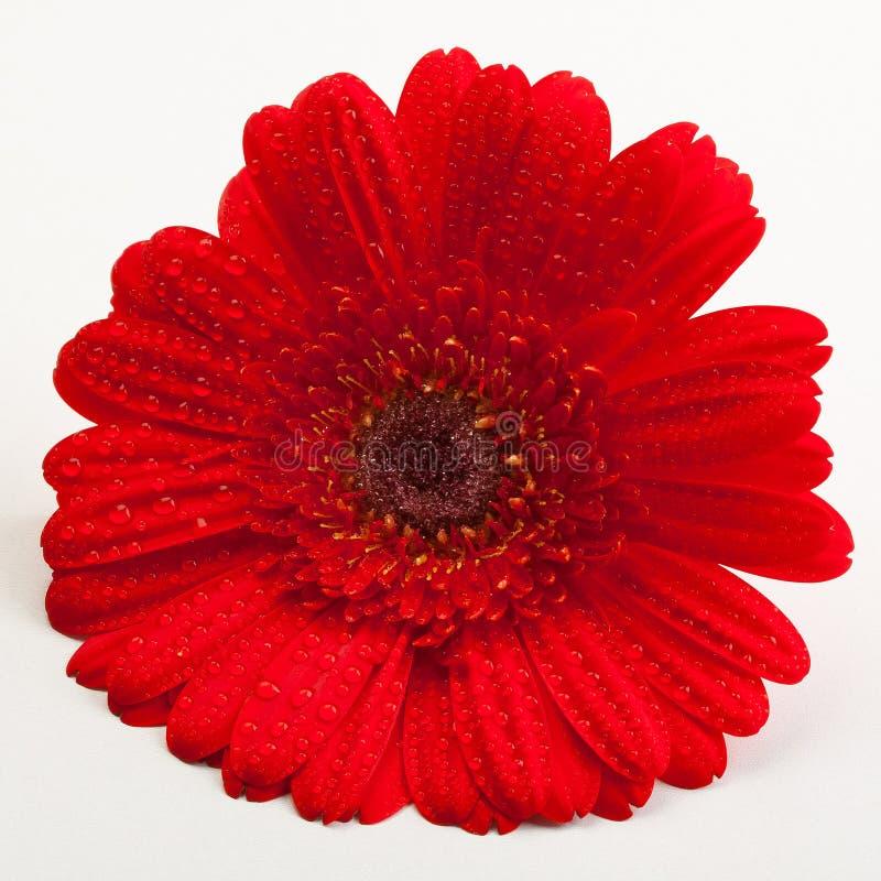 雏菊gerber红色 图库摄影