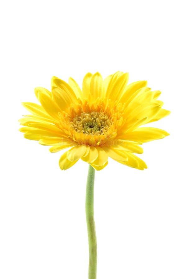 雏菊gerber黄色 免版税图库摄影