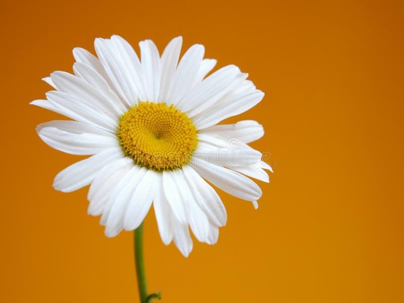 Download 雏菊iii 库存照片. 图片 包括有 增长, 芬芳, 夏天, 本质, 空白, beautifuler, 绽放 - 180108