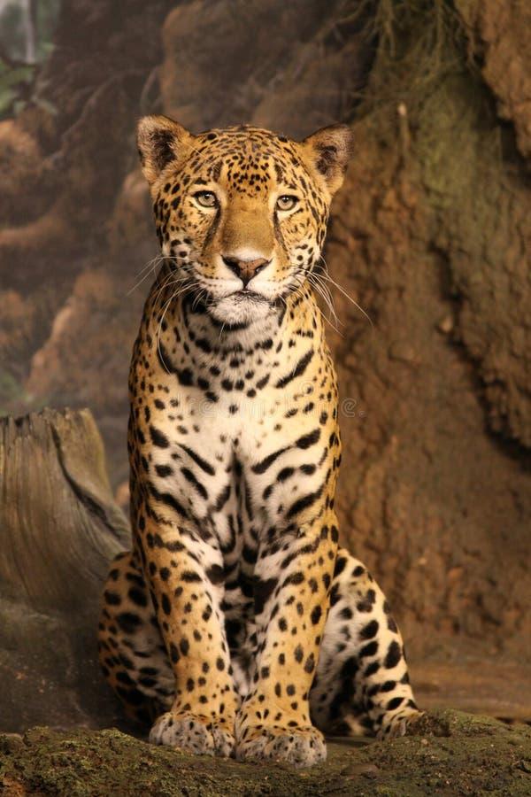 雕象般的豹子 图库摄影