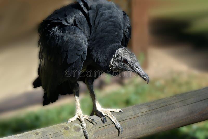 黑雕, Coragyps atratus 库存照片