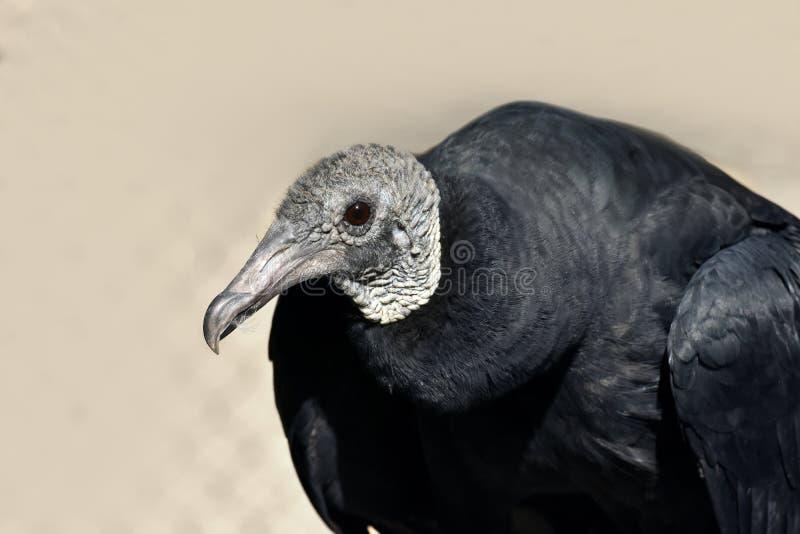 黑雕, Coragyps atratus 免版税库存图片