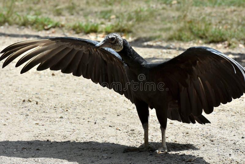 黑雕, Coragyps atratus 库存图片