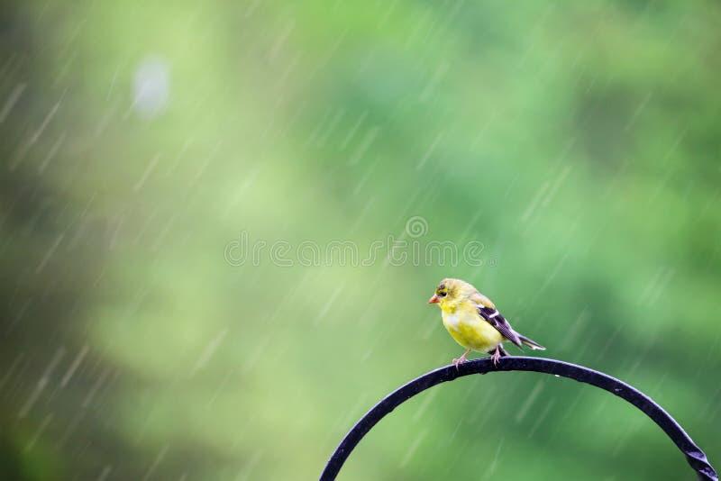 雨中的美式金雀 免版税库存照片