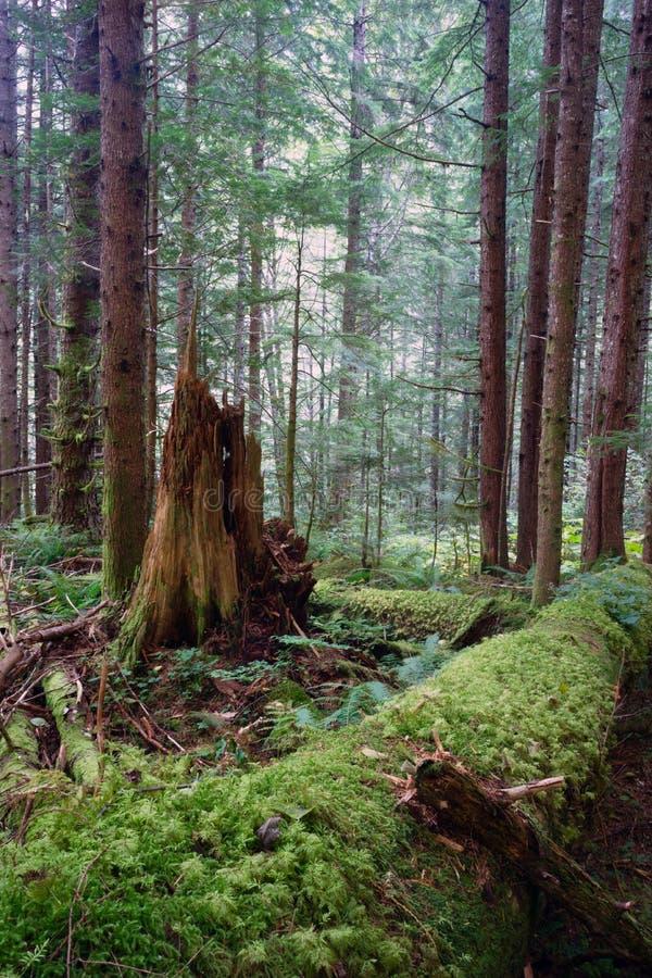 雨林下落的日志烂掉了树桩青苔被盖的树干 免版税库存照片