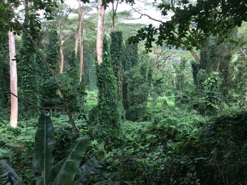 雨林,夏威夷 库存图片