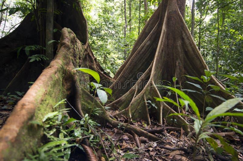 雨林,婆罗洲 库存图片