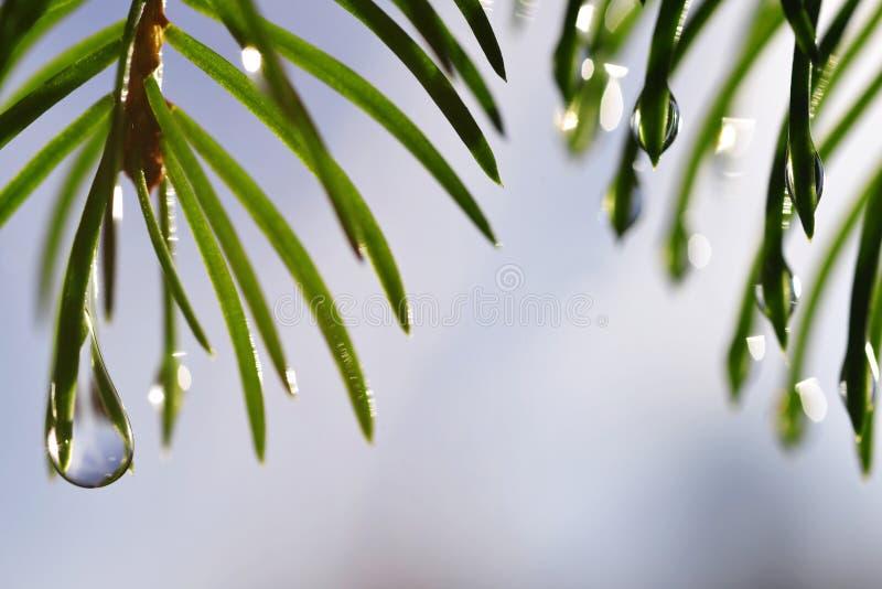 雨水滴在云杉的分支关闭的针的 免版税库存照片