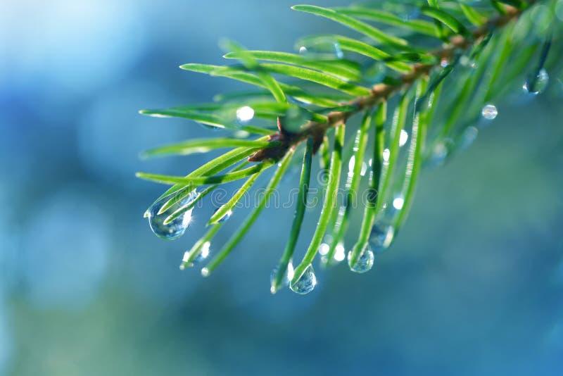 雨水滴在云杉的分支关闭的针的 库存照片