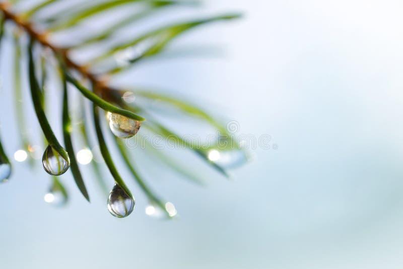 雨水滴在云杉的分支关闭的针的 图库摄影