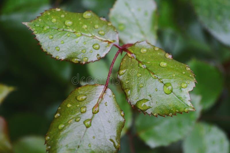 雨水滴在叶子的 免版税库存图片