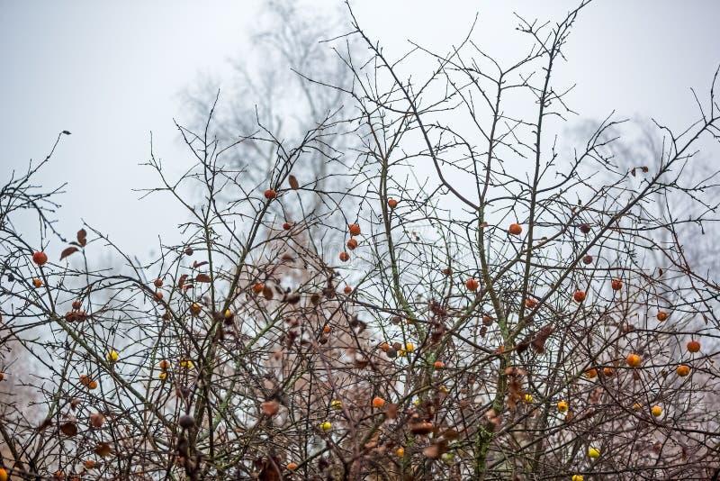 雨滴中树枝上腐烂的苹果 免版税图库摄影