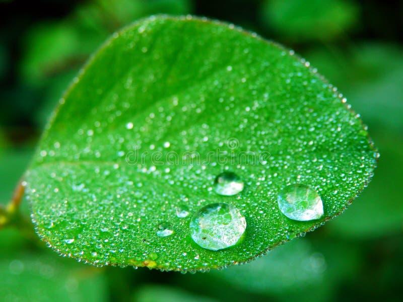 雨珠宏观摄影在绿色叶子的 库存图片