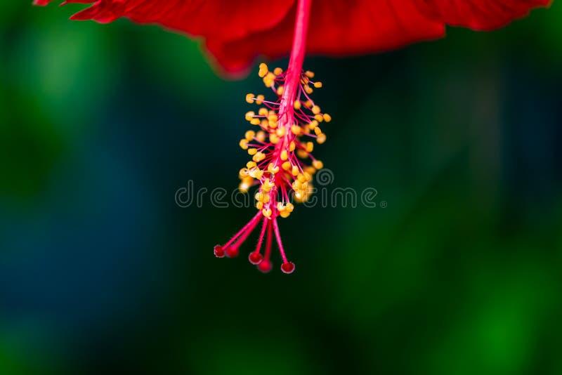 雨珠特写镜头与反射的在木槿雄芯花蕊和雌蕊 免版税库存照片