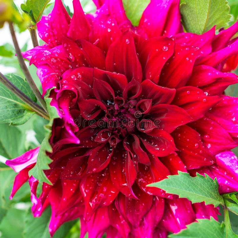 雨珠美好的开花的红色天鹅绒瓣大丽花宏指令, 免版税库存照片