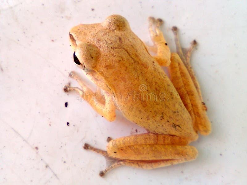 雨蛙芋头 免版税库存图片