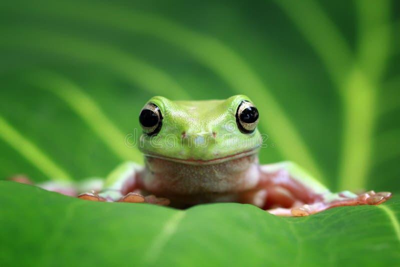 雨蛙,在gree叶子的矮胖的青蛙 库存图片