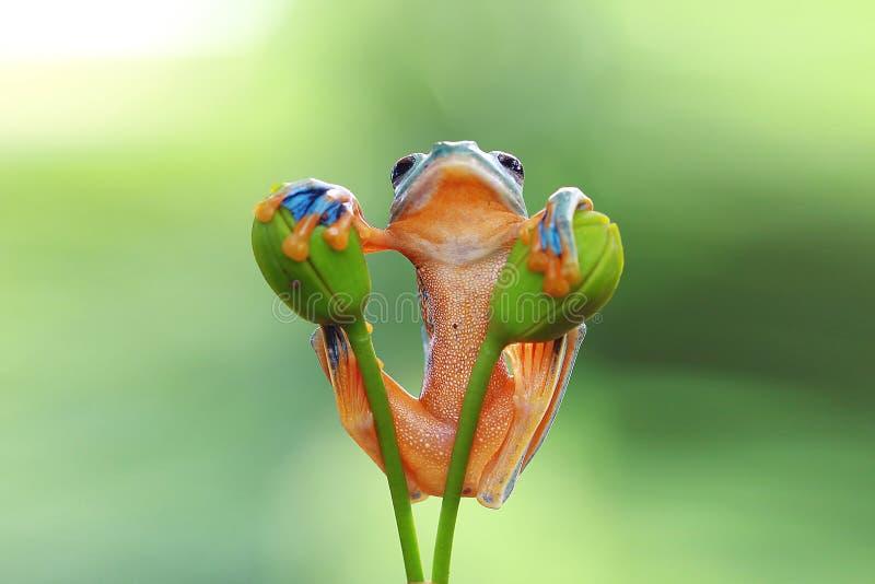 雨蛙,飞行的青蛙, javan雨蛙,华莱士 库存图片