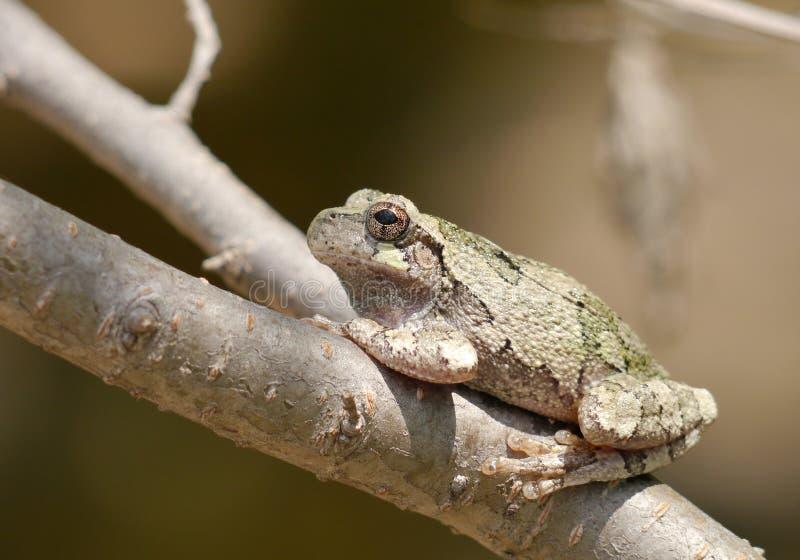 雨蛙chrysoscelis 免版税库存图片