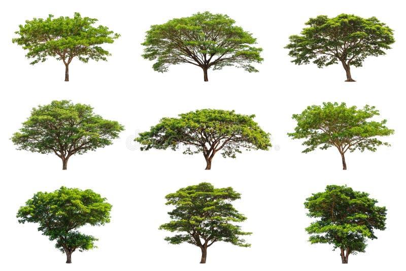 雨豆树(Samanea saman)的汇集 免版税库存图片