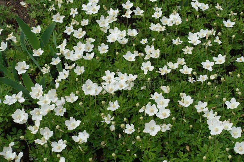 雪下落银莲花属很多白花  免版税库存照片