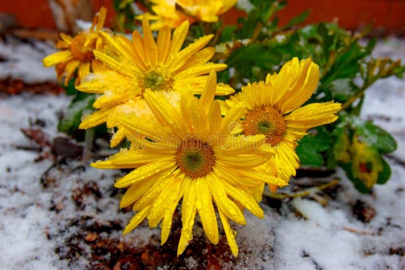 雪中的黄菊 库存图片