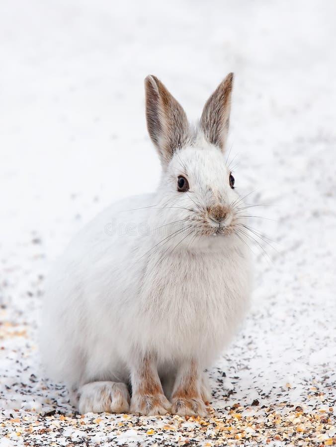Download 雪兔 库存图片. 图片 包括有 栖所, 通配, 蓬松, 环境, 安大略, 懒散, 公园, 绿色, 野兔, 哺乳动物 - 83188597