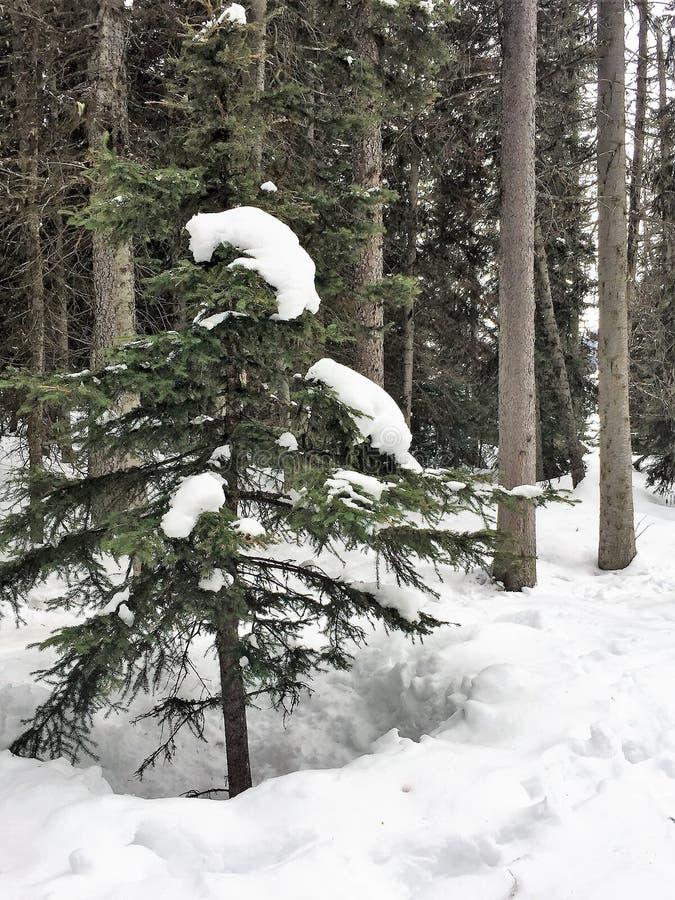 雪加盖的Pinetree加拿大人落矶山 免版税图库摄影