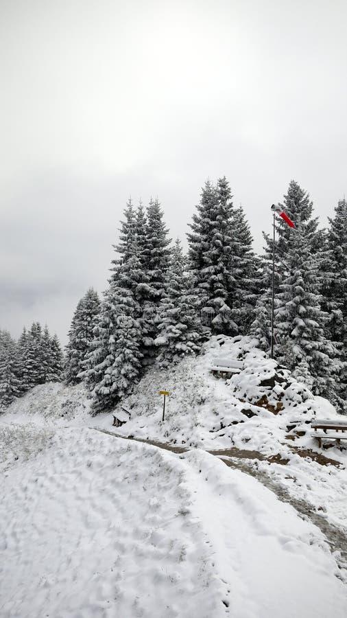 雪和杉树 库存图片