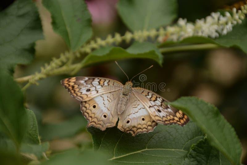 雪在植物保持平衡的孔雀铗蝶 免版税库存图片