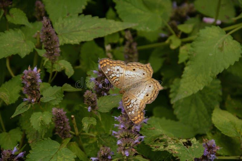 雪在植物保持平衡的孔雀铗蝶 库存图片