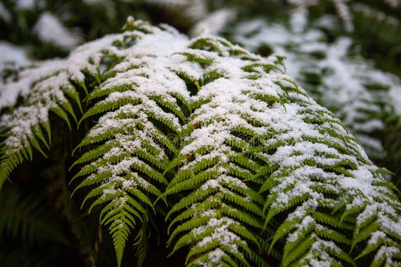 雪在蕨树的叶子在L收集了在Hassans墙壁 免版税库存照片