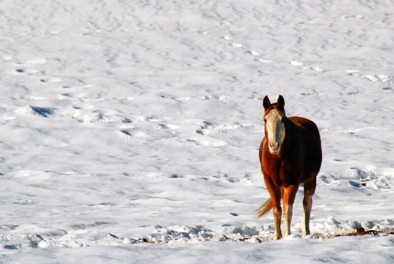 雪地里的孤马 库存照片