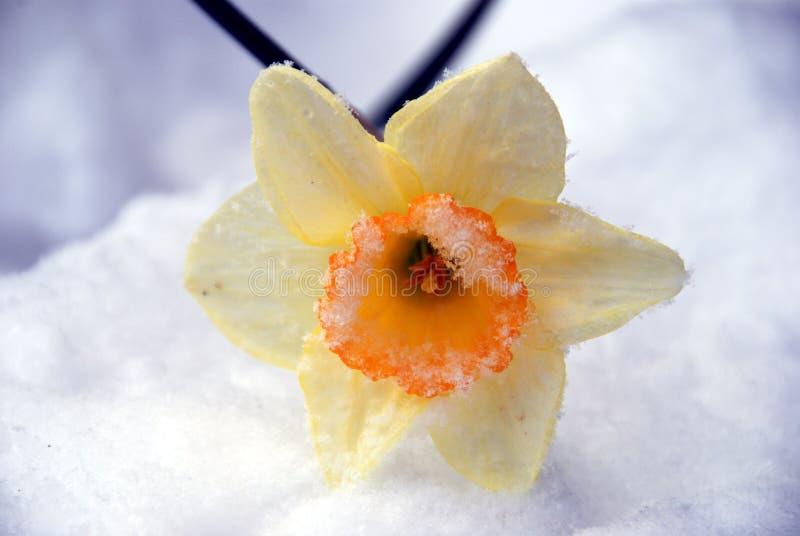 雪拂去灰尘的黄水仙 免版税库存图片