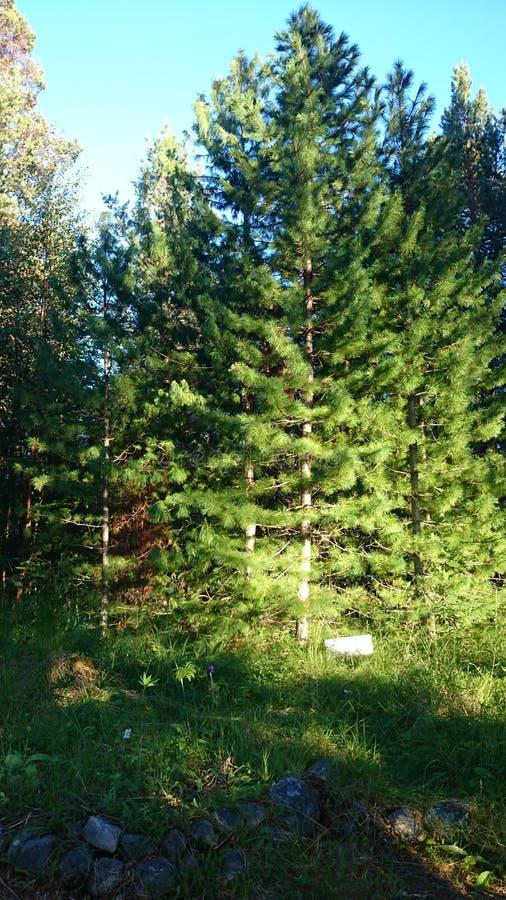 雪松在杉木森林里 免版税库存照片
